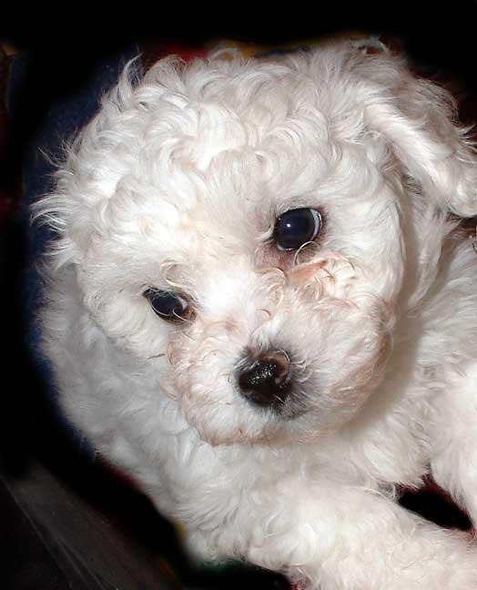 Bolognese Dog Breeders Uk